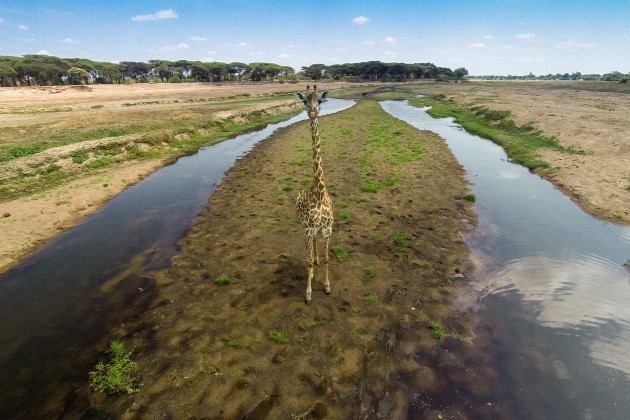 A view of a giraffe from eye level, taken from a remote controlled quadcopter.