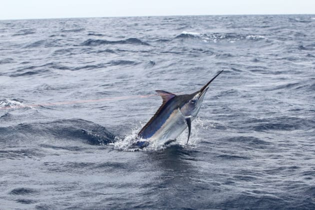 A spectacular gamefish, black marlin are readily accessible for trailer boat anglers trolling lures, skipping baits or deploying livies. Image: Ian Osterloh