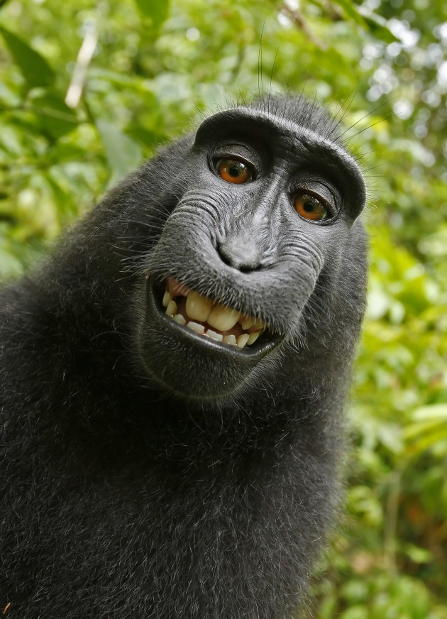 Naruto, an Indonesian Macaque, took this selfie in 2011 shortly after happening on wildlife photographer David Slater's camera. The image has been subject to a years-long copyright battle, which was resolved this week when Slater agreed to contribute 25% of future revenue to the preservation of crested macaques. David Slater and Naruto the Macaque via Wikimedia Commons.