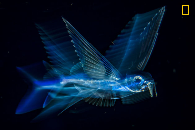 Photograph by Michael Patrick O'Neill, 2017 National Geographic Nature Photographer of the Year. Buoyed by the Gulf Stream, a flying fish arcs through the night-dark water five miles off Palm Beach, Florida.