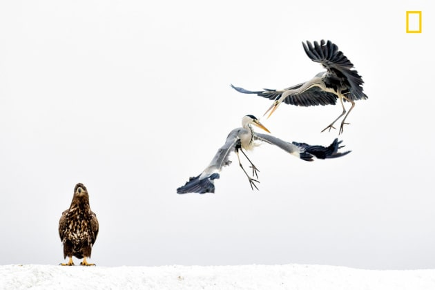 Photograph by Bence Mate, 2017 National Geographic Nature Photographer of the Year. Two grey herons spar as a white-tailed eagle looks on in Hungary.