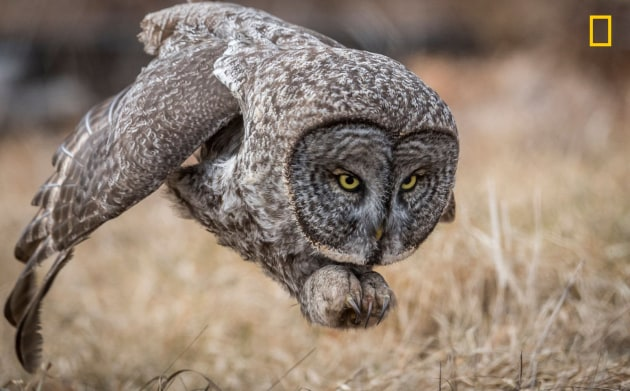 Photograph by Harry Collins, 2017 National Geographic Nature Photographer of the Year. A great gray owl swoops to kill in a New Hampshire field.
