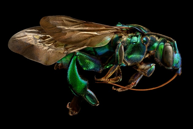 Orchid Cuckoo Bee – Exaerete Frontalis. © Levon Biss.