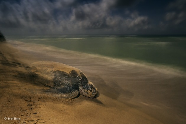 The ancient ritual Brian Skerry, USA Winner 2017, Behaviour: Amphibians and Reptiles Like generations before her, the leatherback turtle shifts her considerable weight with her outsized, strong front flippers and moves steadily back to the ocean. Leatherbacks are the largest, deepest-diving and widest-ranging sea turtles, the only survivors of an evolutionary lineage that diverged from other sea turtles 100–150 million years ago. Much of their lives are spent at sea, shrouded in mystery. When mature, their leathery shells now averaging 1.6 metres (5 feet 3 inches) long, females return to the shores where they themselves hatched to lay their own eggs. Sandy Point National Wildlife Refuge on St Croix, in the US Virgin Islands, provides critical nesting habitat, successfully managed for decades. Elsewhere, leatherbacks are not so lucky, threatened primarily by fisheries bycatch as well as factors including human consumption, coastal development and climate change.