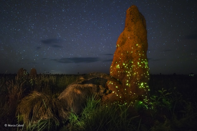 The night raider Marcio Cabral, Brazil Winner 2017, Animals in Their Environment It was the start of the rainy season, but though the night was humid, there were no clouds, and under the starry sky, the termite mounds now twinkled with intense green lights. For three seasons, Marcio had camped out in Brazil's cerrado region, on the vast treeless savannah of Emas National Park, waiting for the right conditions to capture the light display. It happens when winged termites take to the sky to mate.