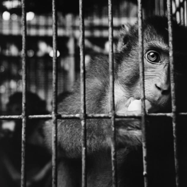 A long-tailed macaque kept in a small cage while on sale at a local market in Medan. Northern Sumatra, 2003. From the book, Trading to Extinction. © Patrick Brown.