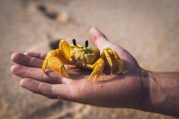 Yellow ghost crab.jpg