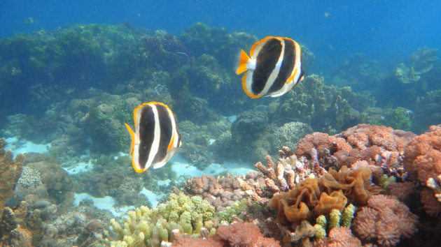 A near-pristine marine environment, two three-striped butterfly fish, found only at Lord Howe and Norfolk Islands.