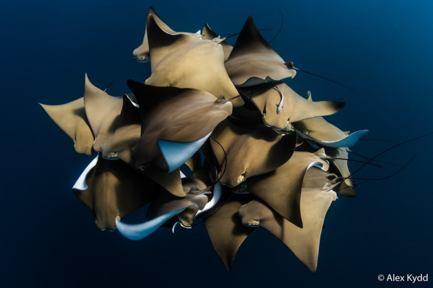 Winner: A Fever of Cownose Rays, Alex Kydd (WA). A fever of cownose rays encountered on the Ningaloo Reef, Western Australia. The rays were in a writhing mass, moving throughout the water column – possibly demonstrating mating or courting behaviour. This was a once-in-a-lifetime encounter with a rarely seen species.