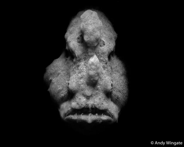 Runner-up: Face Off, Andy Wingate (QLD). A solemn-looking grey anglerfish (aka frogfish) lays still, moving only its eyes as it lies in wait for its next unsuspecting meal to swim past. This is an expert hunter that walks, swims very little, and owns one of the fastest-moving set of jaws in the underwater world.