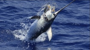 Tasmania is fast becoming a destination for game fishers due to its broadbill swordfish fishery that has produced several big fish in recent times.