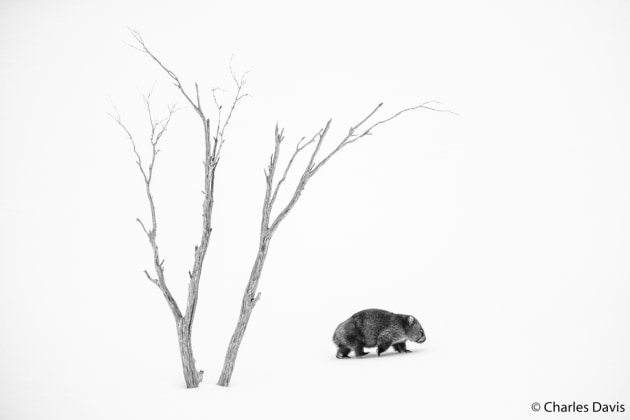 Winner: Phil's World, Charles Davis (NSW). The snow was deep after a week of storms, and grass close to the surface was hard to find. The world had little detail except for the dead, white, skeletal snow gums left over from the 2003 fires and the wombats. I took advantage of the white background to capture both subjects together.