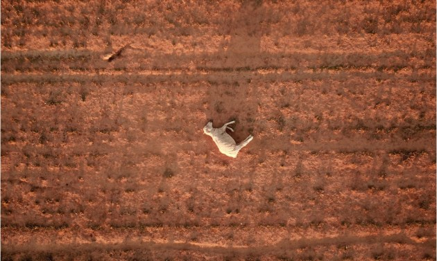 A dead sheep lies on a dry and dusty field near Parkes in August 2018. New South Wales has been 100% drought-declared. © Dean Lewins