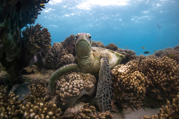 © Daniel Browne. Nature Winner. Cleaning Time. A green turtle rests on some soft corals while being cleaned. She seemed to pose for the camera.