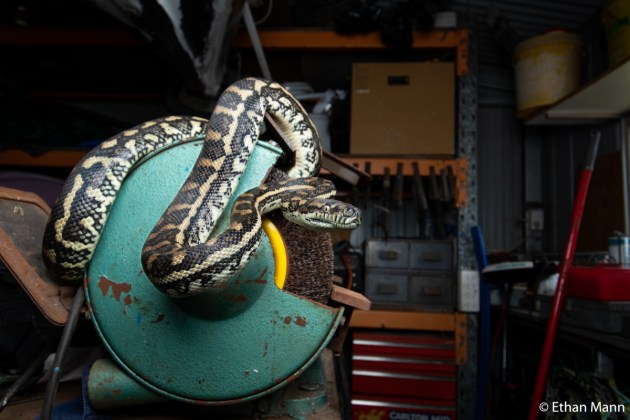 Winner: Ethan Mann (QLD). This coastal carpet python has taken up residence in my dad's shed. This built habitat provides warm tin to bask against, nooks and crannies to take refuge in, and an abundance of rodents as prey.