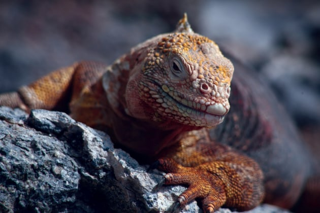 Iguana, Galapagos Islands. Nigel Leadbitter.