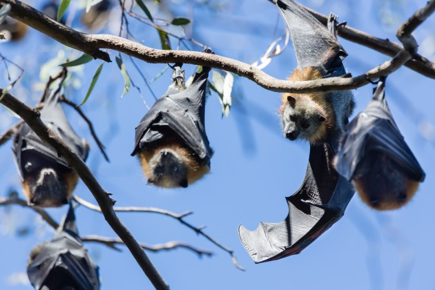Grey headed flying foxes at Yarra Bend Park.