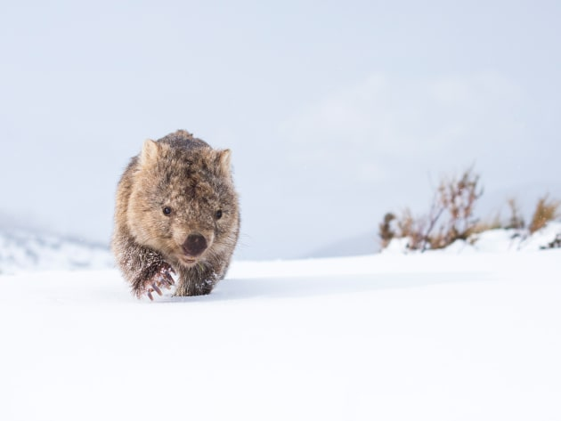 I spent four hours with this wombat. We started in blazing sunlight but once the weather came in the light got magical, bouncing off  the snow. I wanted to show a wombat in its natural environment, just going about its day. Nikon D810, 50mm f/1.4 lens, 1/8000 @ f/2.8, ISO 400.