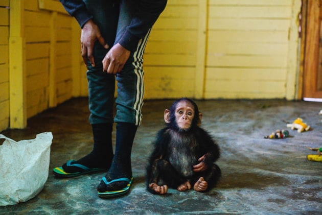 © Ian Bickerstaff. A rescued chimpanzee on his first day at the sanctuary after being confiscated from a hunter.