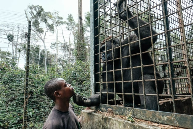 © Ian Bickerstaff. A female gorilla named Ncarla interacting with one of her caregivers, Abdoulaye.