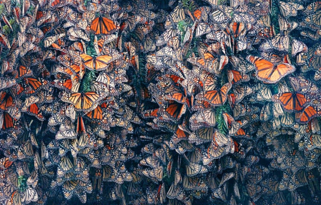 Monarch butterflies (Danaus plexippus), from Endangered. © Tim Flach.