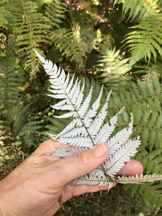 NZ's iconic silver fern.