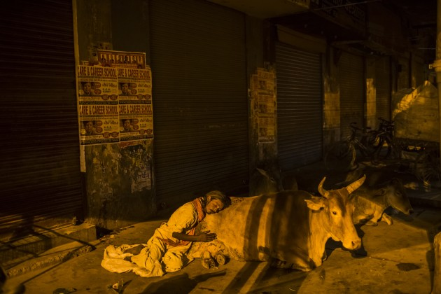 © Daniel Berehulak. A homeless man sleeps leaning against an ox, early morning on March 27, 2014 in Varanasi, India. Shot for The New York Times.