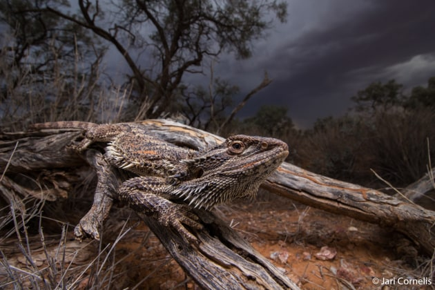 Winner: Storm Dragon, Jari Cornelis (WA). We were rushing to get to camp before the storm hit when we encountered this central bearded dragon, an iconic representative of the reptiles of central Australia. I could not forego the opportunity to capture this impressive animal with the ominous scene unfolding in the distance.