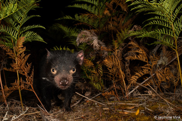 Winner: Tasmanian Devil, Jasmine Vink (QLD). Tasmanian devils were once common throughout Tasmania. A facial tumour has resulted in severe population declines throughout much of their range. The devils on Maria Island are an insurance population used to supplement the numbers and genetic diversity of other populations in Tasmania.