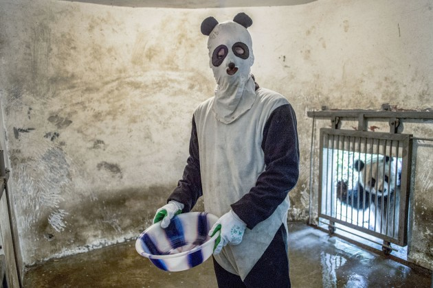A costumed caretaker cleans a panda enclosure while an inhabitant peers in.