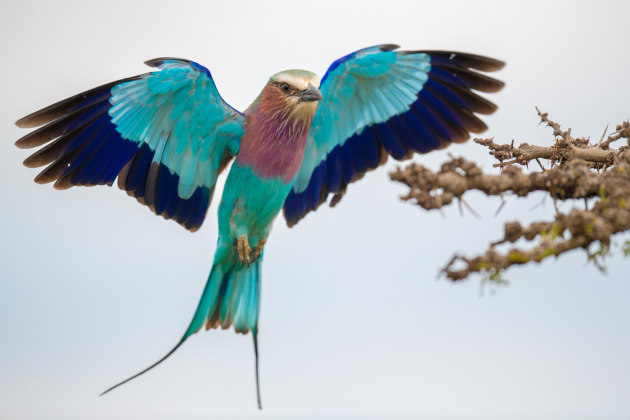 Lilac-breasted Roller In Flight - By using continuous focus, combined with 'burst' mode, I was able to capture this beautiful roller in mid-flight, in the Serengeti, Kenya.