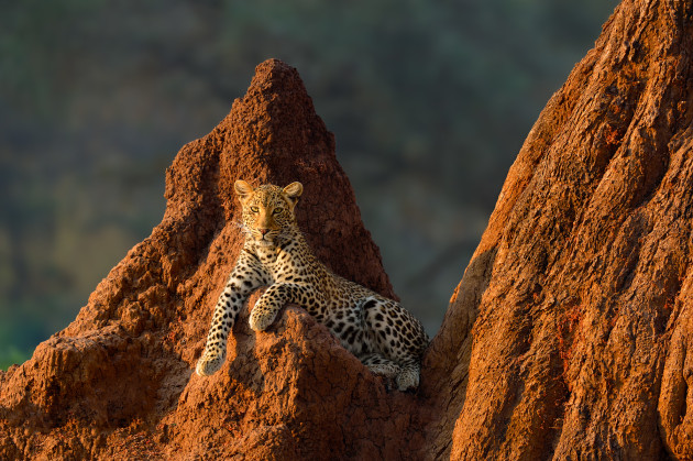© Marsel van Oosten. Female leopard on termite mound at sunrise in Lower Zambezi National Park, Zambia.