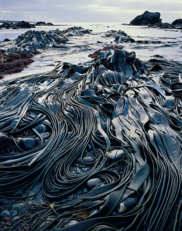 Giant kelp, Hasselborough Bay, Macquarie Island, Tasmania, 1984.