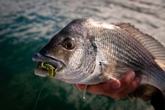 bream on soft plastic
