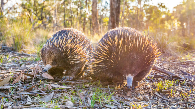 I attempted this photo many times, running ahead and laying down in the hope the echidnas would walk my way. Echidnas are hard to photograph normally so I was happy to show them at eye level and get more than one in the picture. Nikon D800E, 16-35mm f/4 lens @ 35mm, 1/640s @ f/8, ISO 2000.