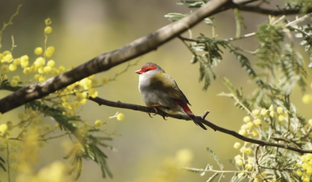 Red browed finch perched in wattle tree