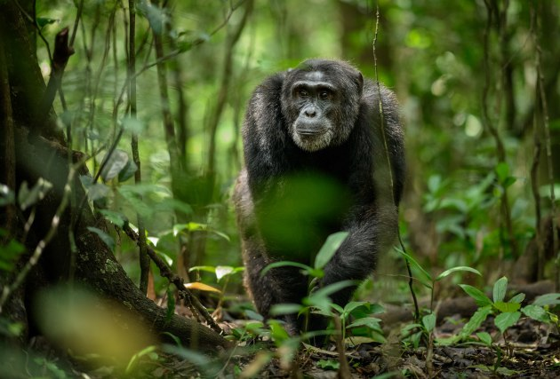 © Richard Peters. Chimp in Kibale National Forest, Uganda.