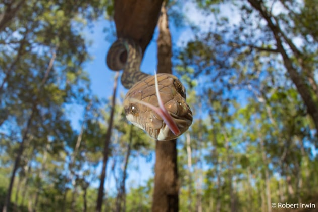Runner-up: Scrub Python, Robert Irwin (NSW). While on a research expedition to the remote bush of Cape York, I spotted this scrub python coming down out of the canopy, probably looking for the best spot to sun. I climbed up onto its level and captured this photo just as it flicked out its tongue toward the camera.