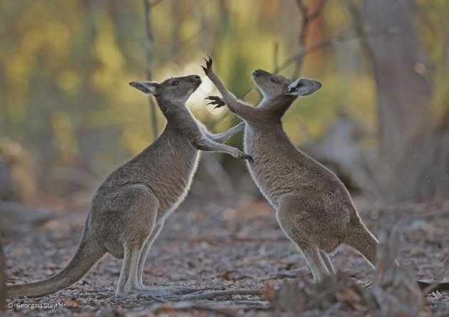 Runner-up: Play fighting, Western grey kangaroos (Macropus fuliginosus), Georgina Steytler (WA)