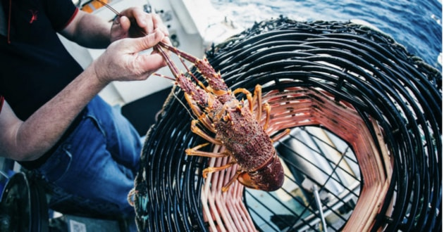 Ferguson Australia is a major processor and exporter of Southern Rock Lobster. Picture: Robert Lang
