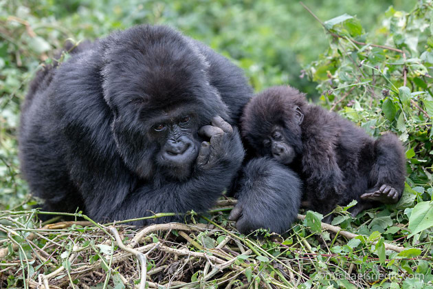 Tender Moment Between Mountain Gorilla Mother And Her Baby - Our visit to see and photograph the Mountain Gorillas in Rwanda was a life experience none of my Photo Safari group will ever forget. By moving around at different angles, I was able to get this image without the distraction of branches, leaves or grass.