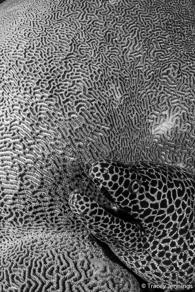 © Tracey Jennings. WINNER, MONOCHROME. Honeycomb moray eel, Gymnothorax favagineus, Maze coral, Leptoria sp. I came across this amazing juxtaposition of a honeycomb moray eel and a textured brain coral. It screamed monochrome to me, but one of the significant disadvantages of shooting under water is that you cannot just change your lens to suit the subject. Still, I slowly moved as close to the eel as possible, increased the depth of field, and adjusted my strobes to light up the coral and the eel. Banda Sea.
