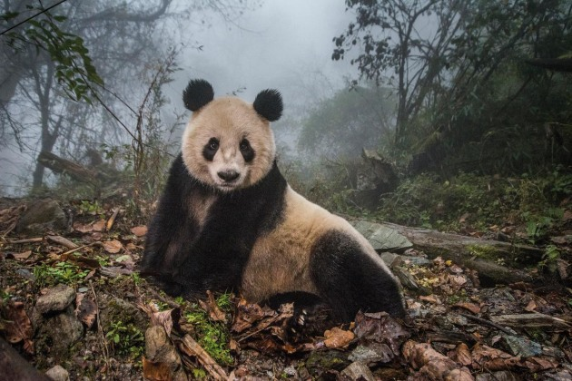 "© Ami Vitale.Ye Ye, a 16-year-old giant panda, lounges in a massive wild enclosure at a conservation center in Wolong Nature Reserve. Her two-year-old cub, Hua Yan (Pretty Girl) was released into the wild after two years of ""panda training."""