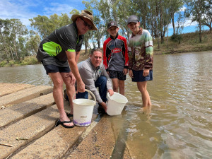 Fish stocking on the Macquarie River: Fish rescue efforts rewarded