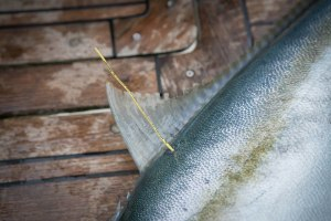 NSW DPI Fisheries: Tagging fish – what is it and how it works