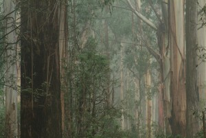 Mountain Ash Forest: Paper or Possum