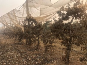 Montague's 5000 apple trees burned by bushfire