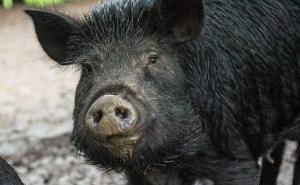 Lead Free Bullets For Pig Culling