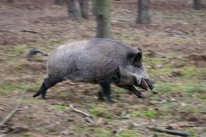 Feral Pigs 'Rampage' Killing 3 ISIS Militants