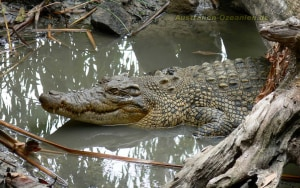 Exploding Crocodile Numbers Renew Calls For Controlled Hunting